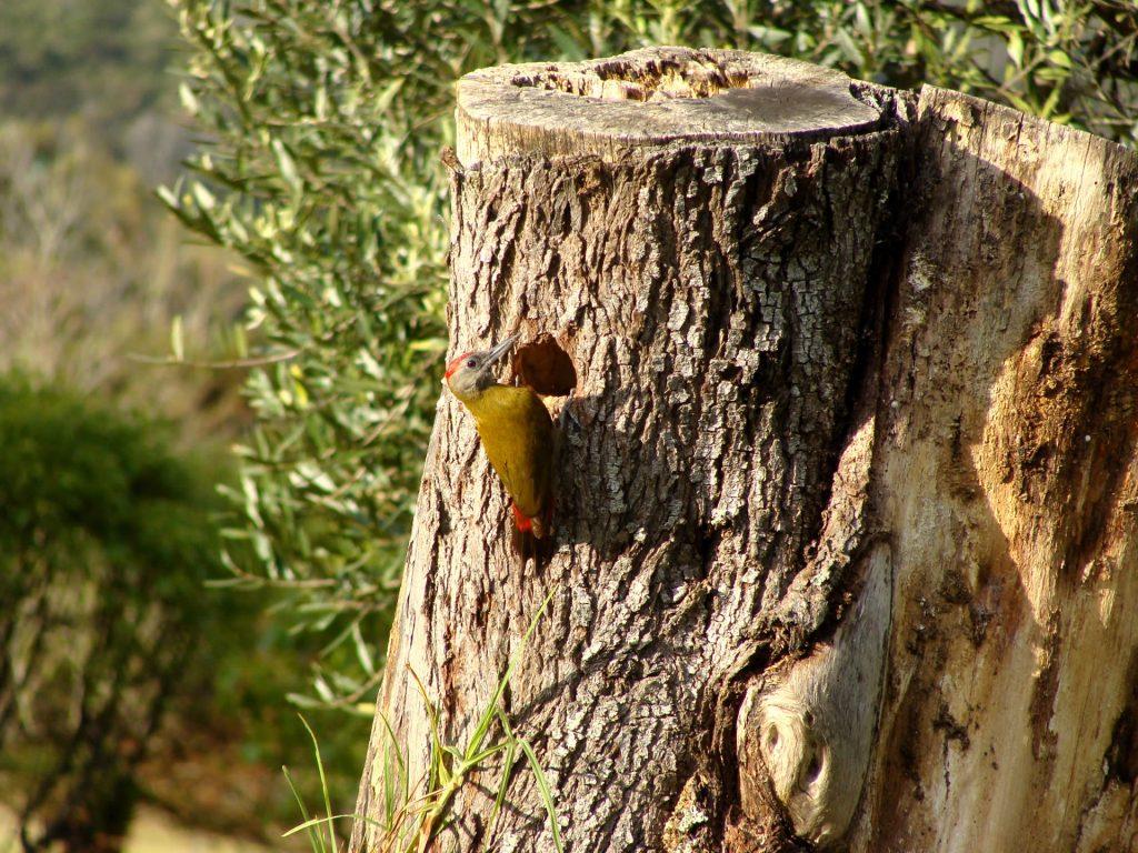 Olive Woodpecker 9th Tee