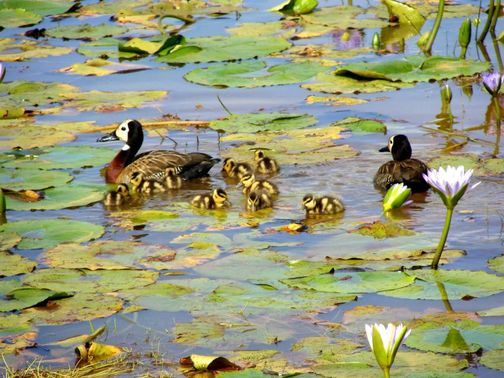 Whitefaced Ducklings 1