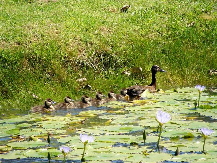 Whitefaced Ducklings 2