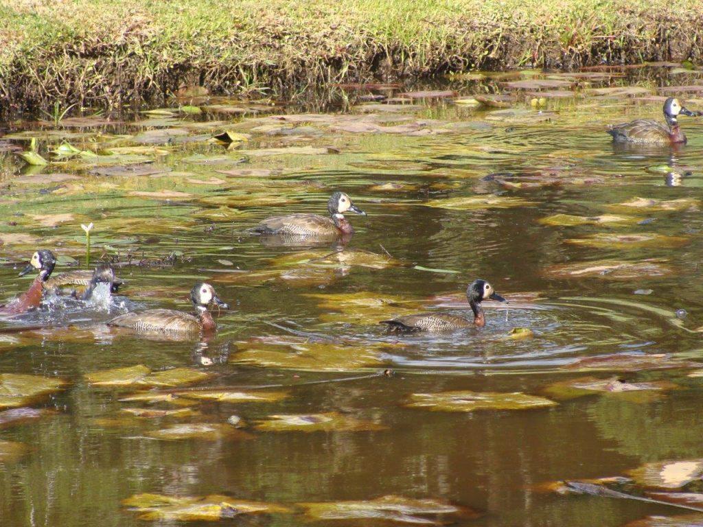Whitefaced Ducks 1