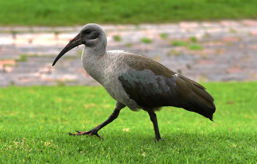 dh - Hadeda Ibis