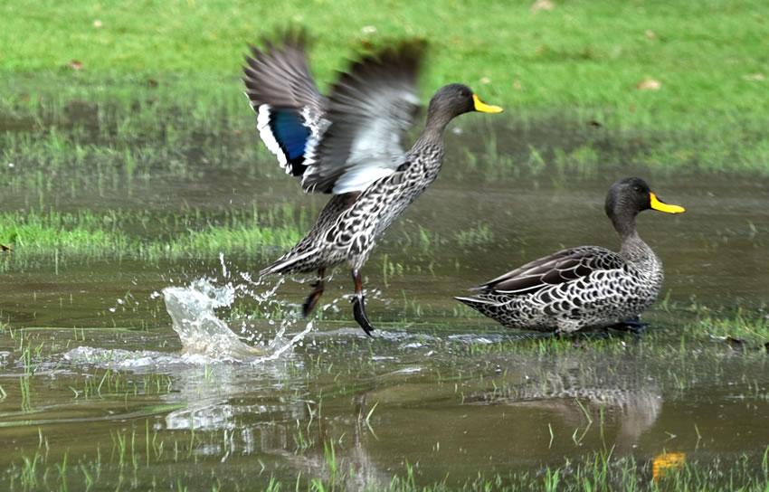 dh - Yellowbilled Duck 1